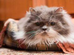 L'Alzheimer nel gatto (Foto Adobe Stock)