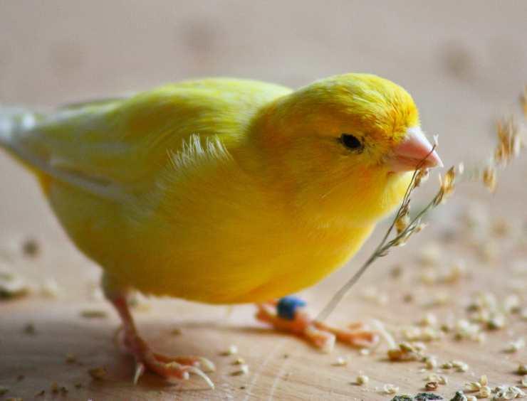 alimenti dannosi per il canarino