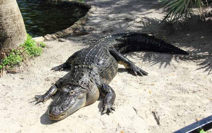 alligatore del mississippi