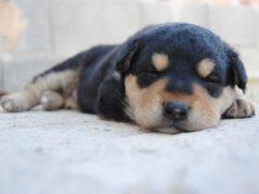 Il cucciolo piange nel sonno