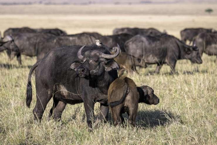bufalo africano e cucciolo