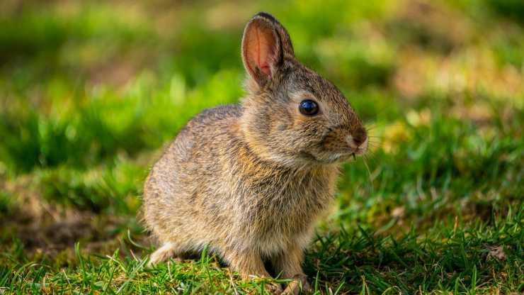 Coniglio nel prato (Foto Pixabay)