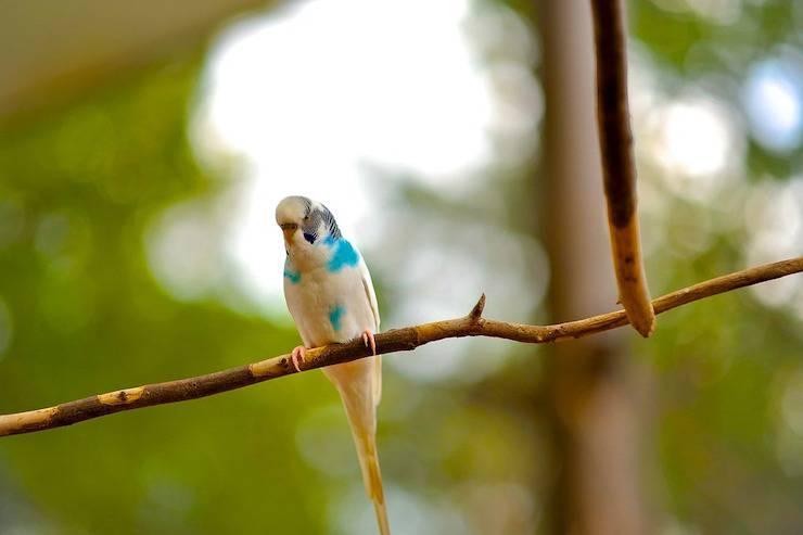 Gli uccellini domestici