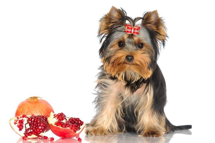 Il cane può mangiare il melograno? (Foto Adobe Stock)
