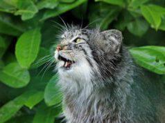 Il gatto non miagola