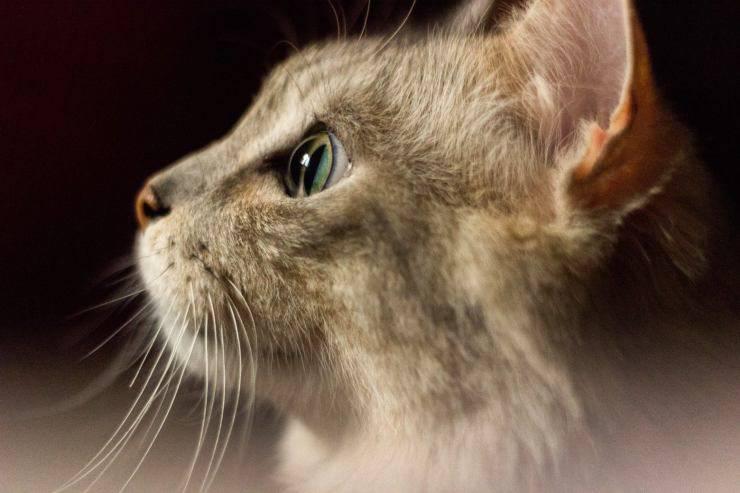 Il linguaggio delle orecchie del gatto