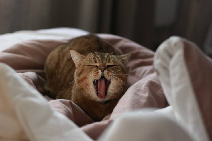 Il gatto sbadiglia
