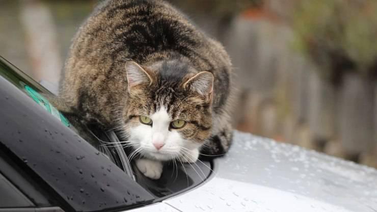 gatto su automobile pericoli antigelo