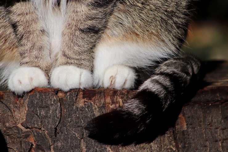Zampe feline