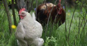 gallina come animale domestico