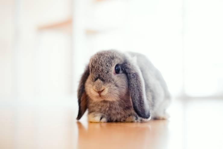 Come pulire le zampe del coniglio