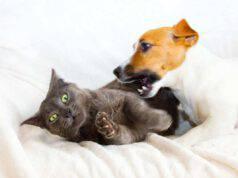 Come trattare i morsi del cane sul gatto