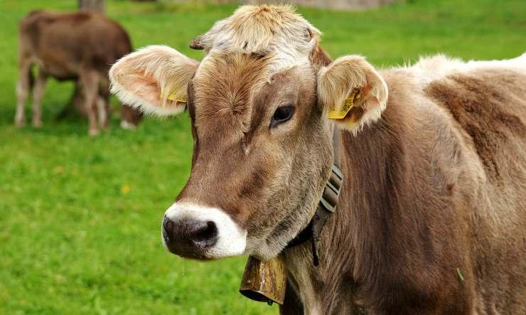 Mucca al pascolo (Foto pixabay)