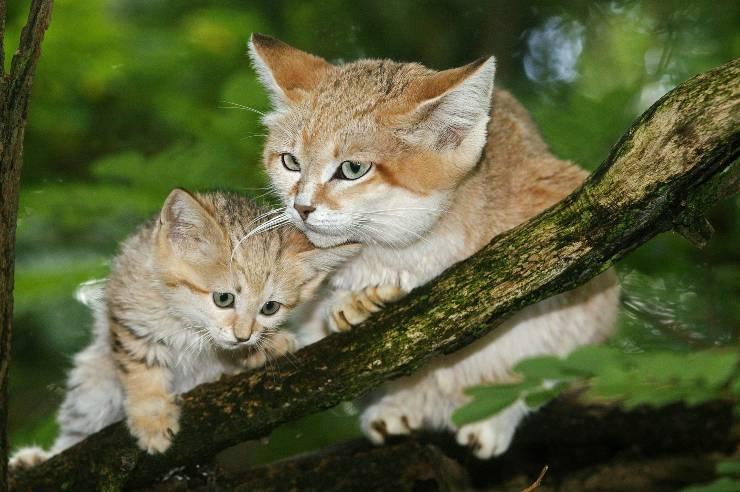 cuccioli di felis margarita