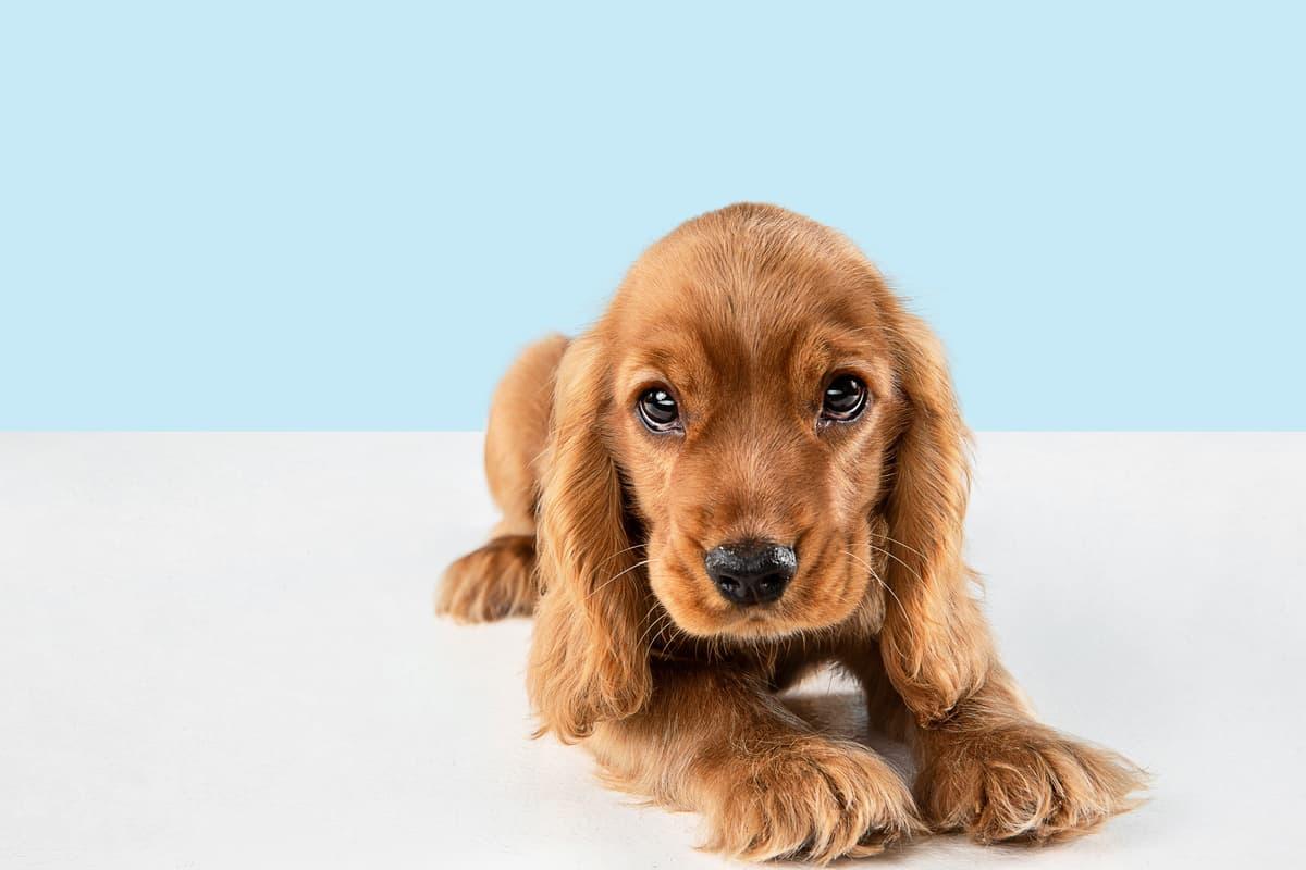 Acne nel cane (Foto Adobe Stock)