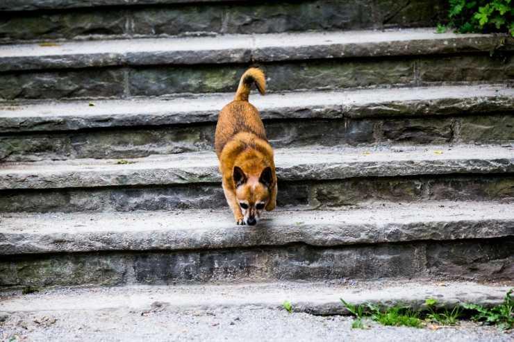 Il cane non sa scendere le scale