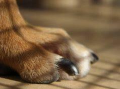 Le unghie del cane crescono troppo