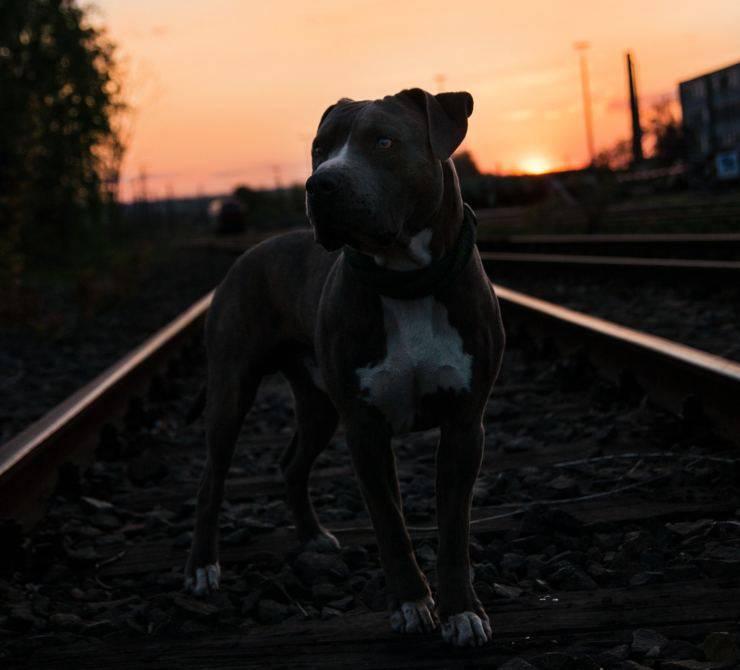 cane binari treno