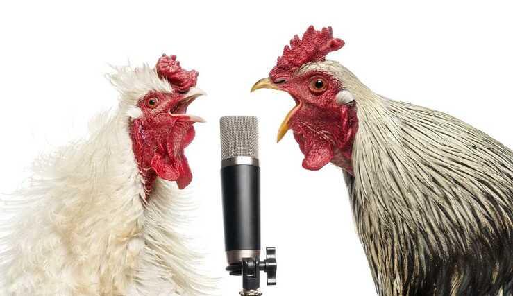 Come non far cantare il gallo (Foto Adobe Stock)