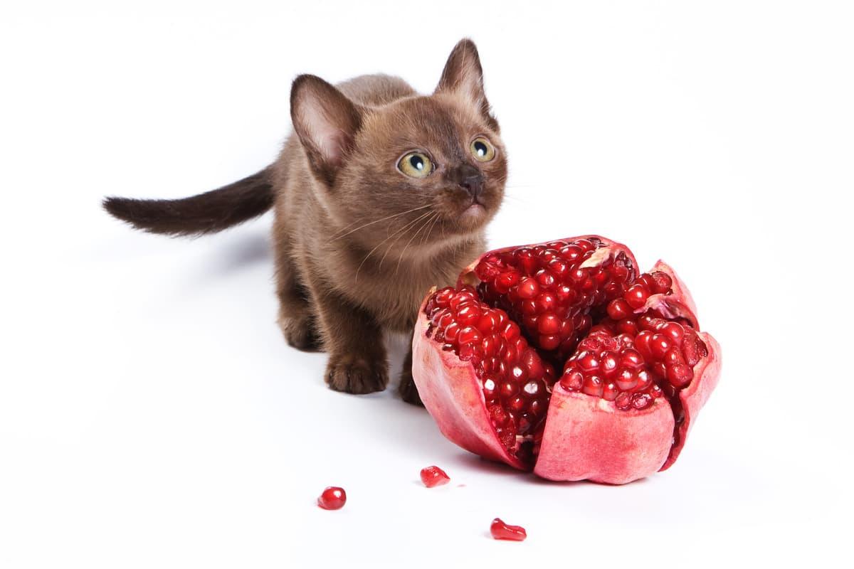 Il gatto può mangiare melograno (Foto Adobe Stock)