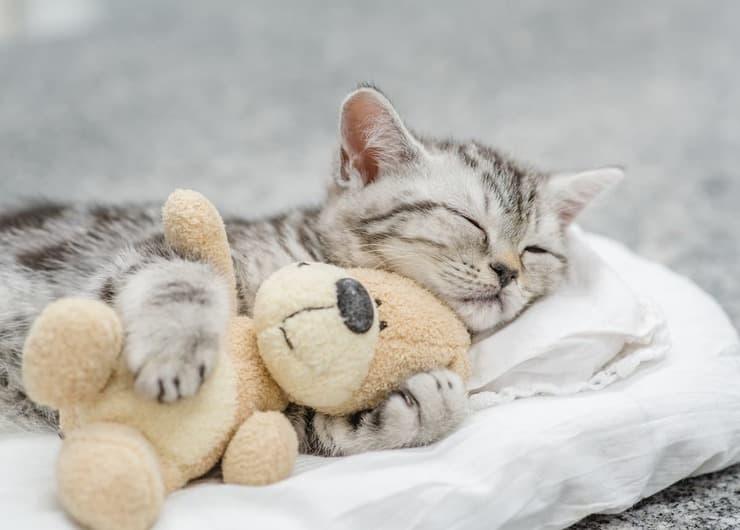 Cosa sognano i gatti quando dormono? (Foto Adobe Stock)