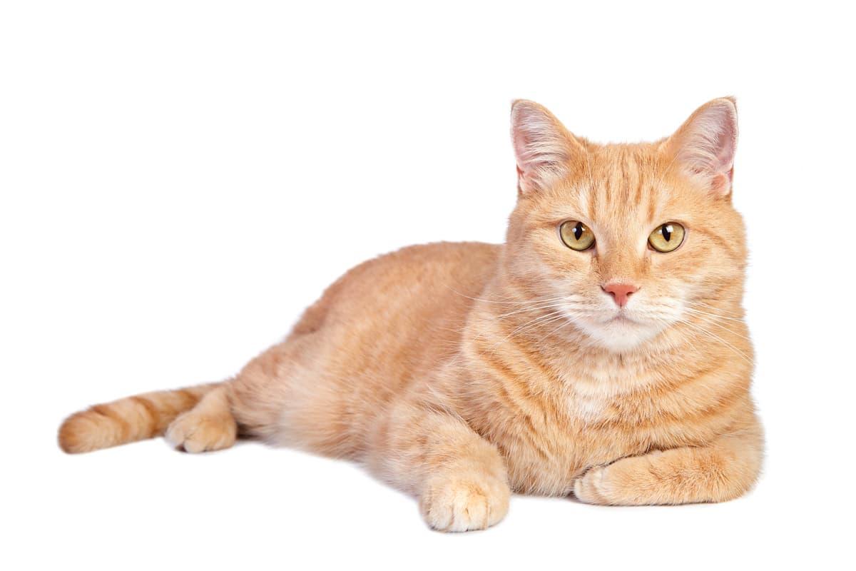 I gatti possono mangiare i pistacchi? (Foto Adobe Stock)