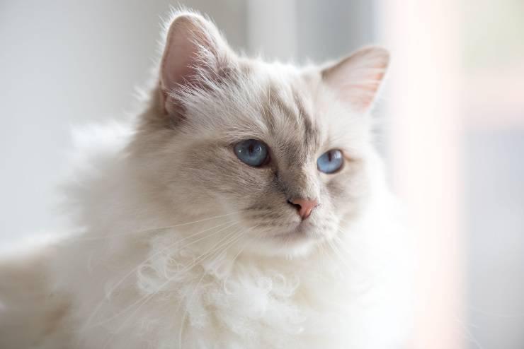 sordità gatto bianco