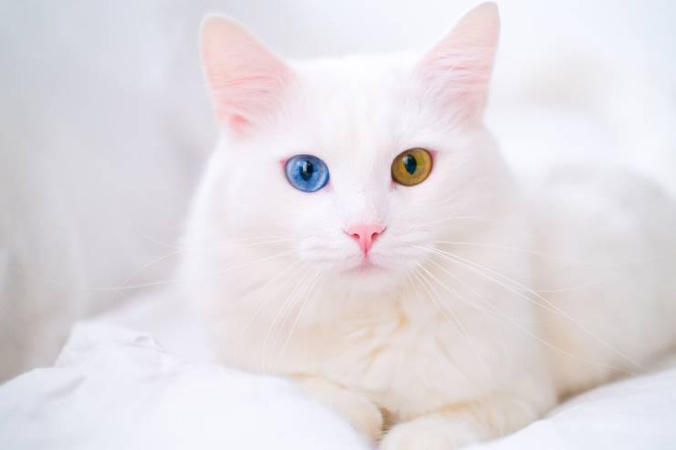 gatto bianco e occhi bicolore