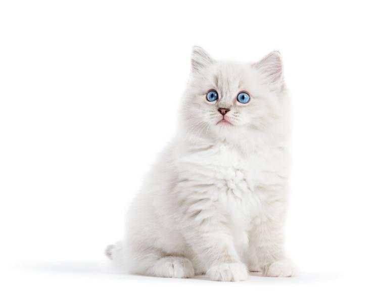 sordità del gatto bianco