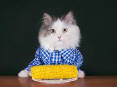 Il gatto può mangiare il mais? (Foto Adobe Stock)