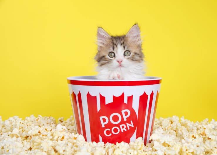 Il gatto può mangiare i popcorn? (Foto Adobe Stock)
