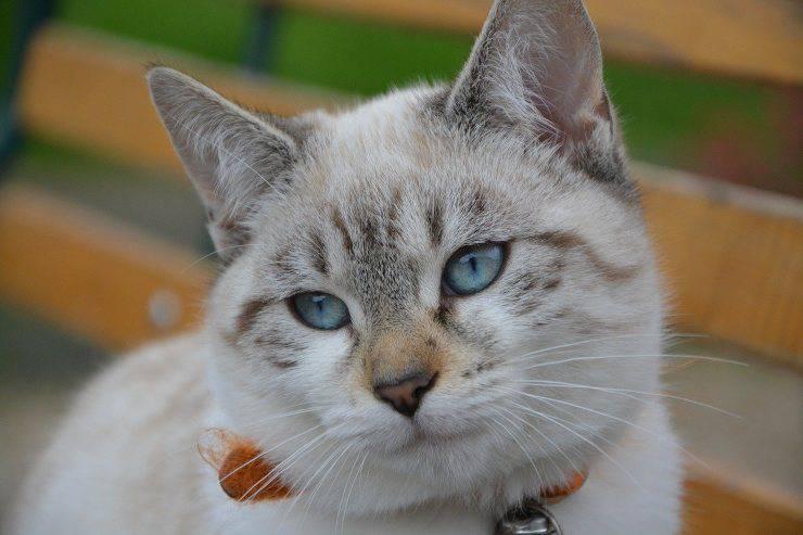 gatto ha gli occhi azzurri