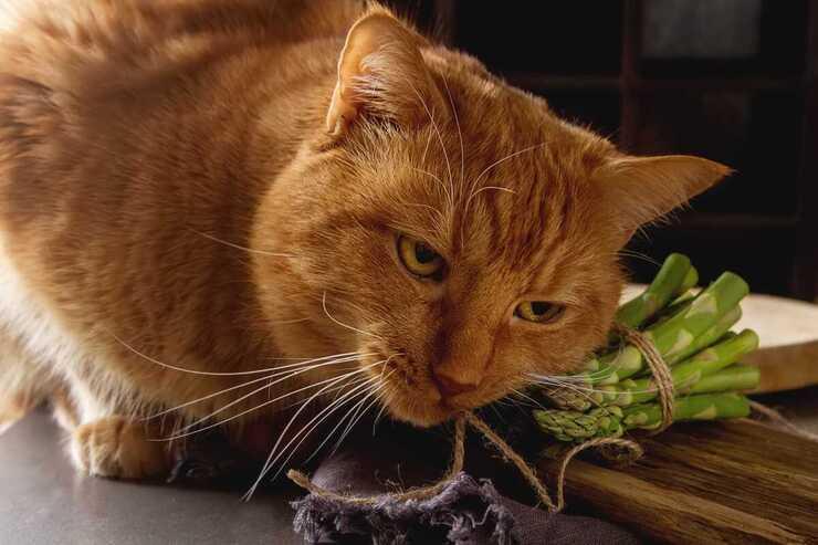 Il gatto può mangiare asparagi? (Foto Adobe Stock)