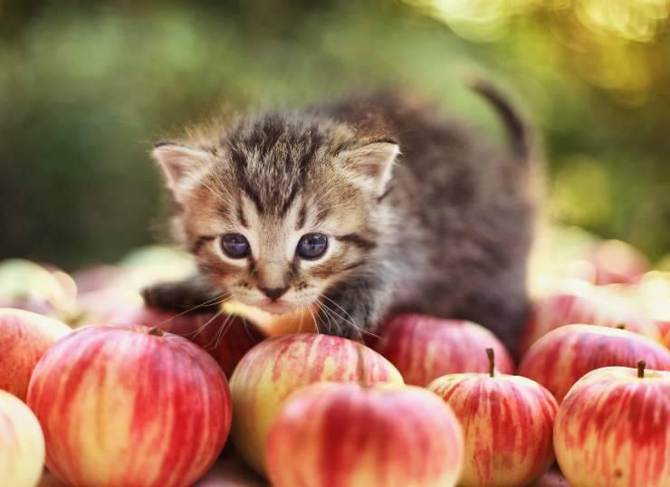 gatto mele
