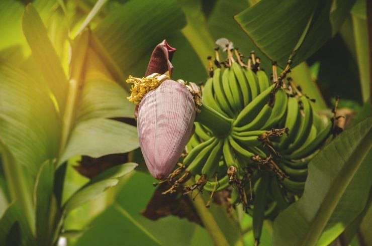 habitat ragno delle banane