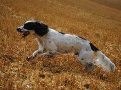 cane da caccia spaniel