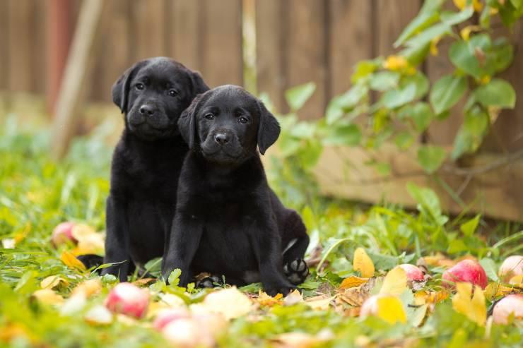 i cani possono essere gemelli