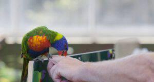 pappagallo becca mano