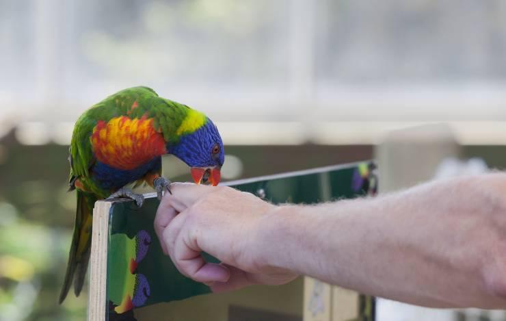 pappagallo becca la mano