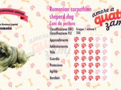 Romanian carpathian sheperd dog scheda razza