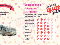 Romanian mioritic sheperd dog scheda razza