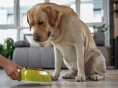 labrador retriever cane alimentazione mangiare cibo dieta