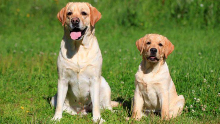 labrador retriever cane adulto e cucciolo