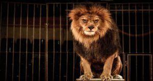 Divieto di circo con gli animali (Foto Adobe Stock)