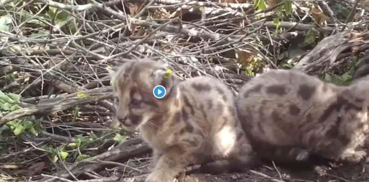 cuccioli leoni montagna rifiutati