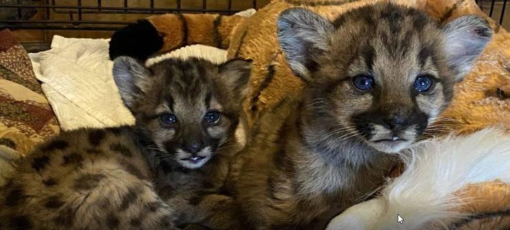 cuccioli leoni montagna orfani