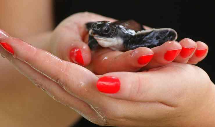 Tartaruga caretta tra le mani (Foto Pixabay)