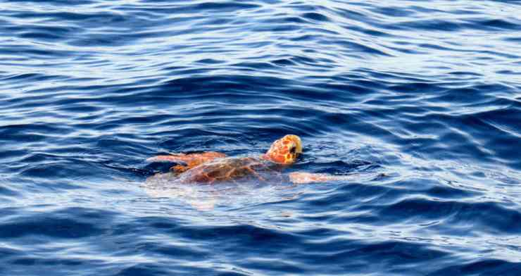 tartaruga a nuoto (Foto Pixabay)