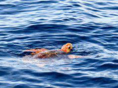 La tartaruga in acqua (Foto Pixabay)