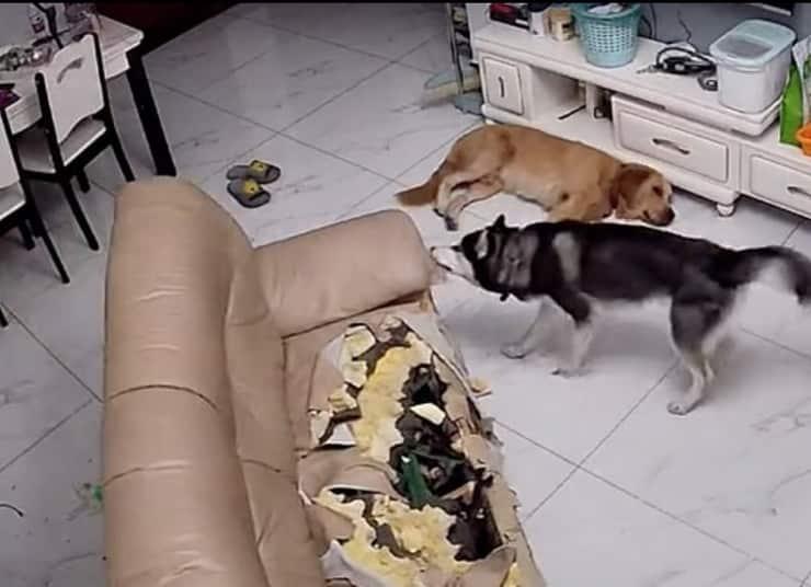 Oreo il cane che ha devastato il salone del suo appartamento